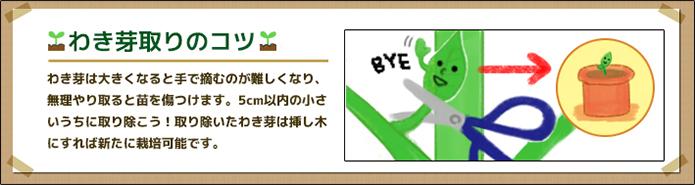 トマト_わき芽
